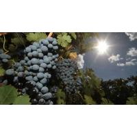 Неурожай винограда в Европе скажется на стоимости вина