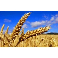 «Нетрадиционные» озимые дают хороший урожай