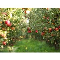 Перепроизводсто яблок: не приговор, но повод задуматься