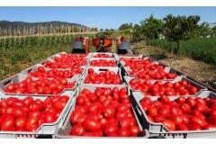 Новый завод по переработке томатов