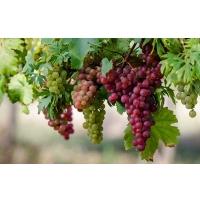 Винограда будет больше