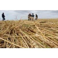 Урожай зерновых снизится