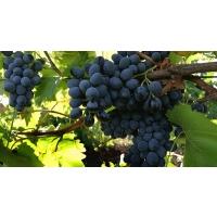 Экспорт украинского винограда растет