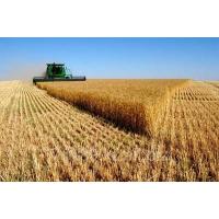 Экспорт украинской пшеницы растет