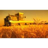 В текущем году ожидается хороший урожай зерновых