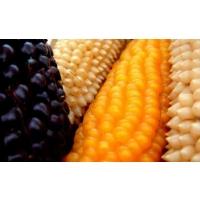 Производство кукурузы вырастет