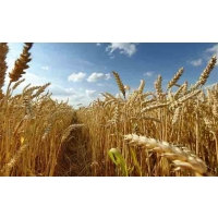 Урожайность зерновых под угрозой