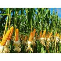На глобальном рынке продолжается рост цен на кукурузу