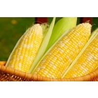 Посевы кукурузы сократятся