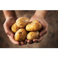 Украинские аграрии за год заработали на экспорте картофеля около в 3,5 миллионов долларов