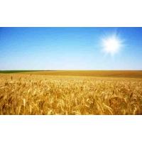 Пшеница подорожает