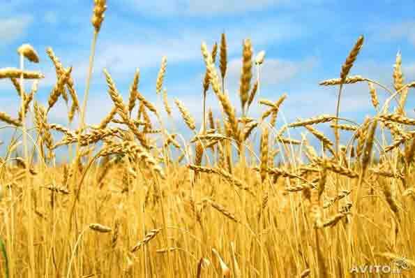 Фуражного зерна будет меньше