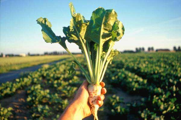 На Винничине ожидается хороший урожай сахарной свеклы