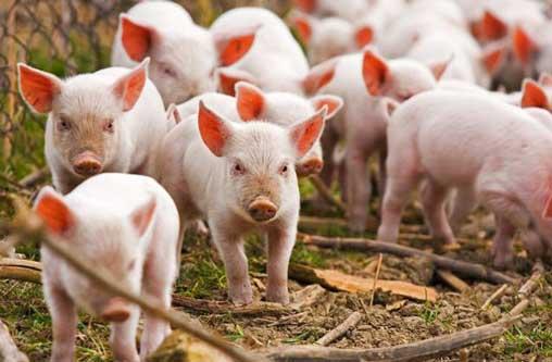 Поголовье свиней продолжает сокращаться