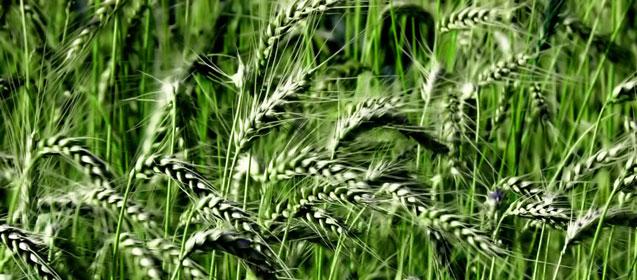 Озимая пшеница теряет площади