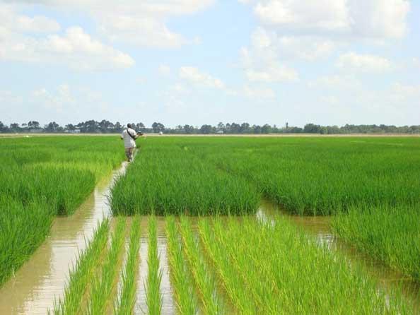 Херсонщина наращивает производство риса